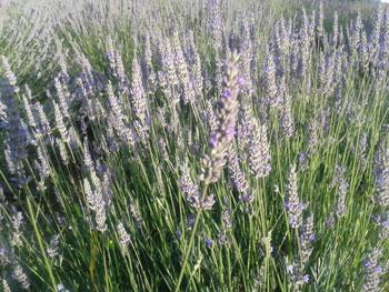 Carshalton Lavender Flowers