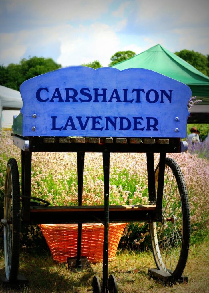 Carshalton Lavender credit www.photocraft.org.uk