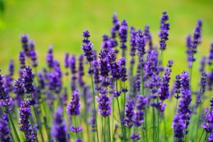 5 Unexpected Benefits of Lavender
